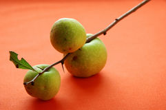 Quince on stem Royalty Free Stock Image