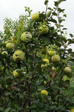 Quince tree. With fruits in the orchard stock image