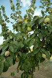 Quince tree Royalty Free Stock Photos