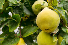 Quince in the tree Royalty Free Stock Photos