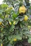 Quince tree Stock Photography