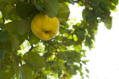 Quince in a tree Stock Photos