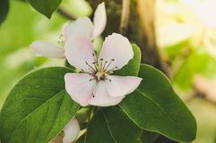 Quince tree blossom Stock Image