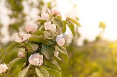 Quince tree blossom Royalty Free Stock Photography