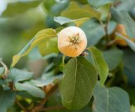 Quince on a tree branch . In the park in nature Royalty Free Stock Images