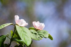 Quince tree flower. With natural background Royalty Free Stock Photography