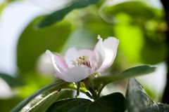 Quince tree flower. With natural background Royalty Free Stock Photo