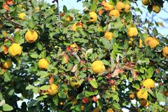 Quince on the tree. Fresh fruits Stock Photography