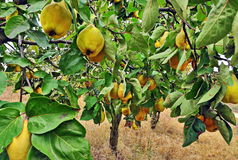 Quince tree. With fresh yellow fruits royalty free stock photo