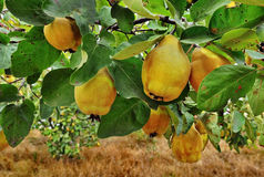 Quince tree. With fresh yellow fruits stock photo
