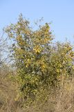 Quince tree with fruits. Winter apple. November fruit. Quince tree with fruits. Winter apple. November fruit Stock Photo