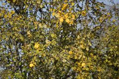 Quince tree with fruits. Winter apple. November fruit. Quince tree with fruits. Winter apple. November fruit Royalty Free Stock Photography