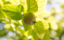 Quince on the tree in the garden Royalty Free Stock Images
