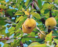 Quince on the tree Royalty Free Stock Photo
