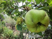 Quince in a tree from an organic farm royalty free stock photo