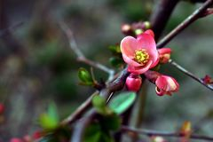 Quince twig with one flower bud in spring royalty free stock images