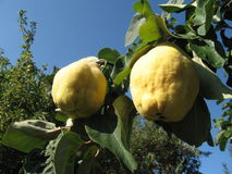 Quince. Yellow quince fruit on green bough royalty free stock images