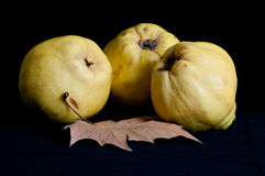 Quinces. Three big quinces with dry leaf isolated on black studio background Royalty Free Stock Images