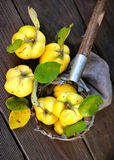 Quinces Royalty Free Stock Photos