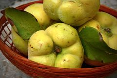 Quinces in the basket Royalty Free Stock Image