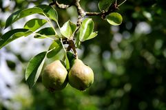 2 quinces on the branch in the mature phase stock images