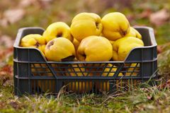 Quinces in a crate on grass Royalty Free Stock Images