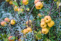 Quinces fruits Royalty Free Stock Photo
