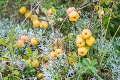Quinces fruits Stock Photos