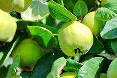 Quinces. Green quinces on the branch of the tree Royalty Free Stock Images