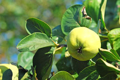 Quinces. Green quinces on the branch of the tree Stock Images
