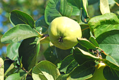 Quinces. Green quinces on the branch of the tree Stock Image