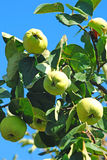 Quinces. Green quinces on the branch of the tree Stock Photo