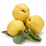Quinces with leaves over white background. Premium fresh quinces freshly harvested to cook Royalty Free Stock Image
