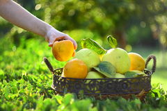 Quinces and persimmons in basket Royalty Free Stock Images