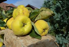 Quinces on a stone Stock Photography