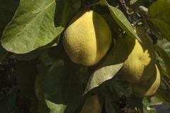 Quinces on tree Royalty Free Stock Photo