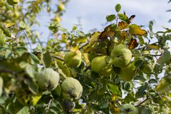 Quinces on the tree stock images