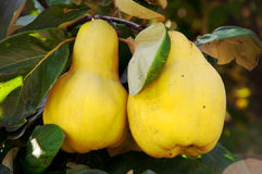 Quinces on the tree, close up, shallow focus Royalty Free Stock Image