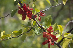 QuinceTree japonais de floraison Photo stock