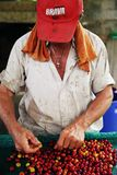 QUINDIO, COLOMBIA, 15 AUGUST, 2018: Man sorting the harvested fruits of the cofee tree before drying.. The cherry is the name usually given to the fruit of the stock images