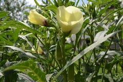 Quingombó y flores que crecen en el tallo Foto de archivo