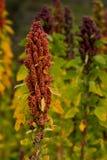 Quinoa εγκαταστάσεις Στοκ εικόνα με δικαίωμα ελεύθερης χρήσης
