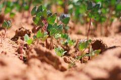 Quinoa Image stock
