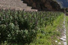 Quinoa aanplanting in Peru stock foto's