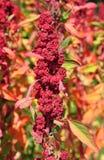 Quinoa (Chenopodium - quinoa) Stock Foto's