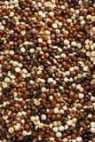 Quinoa cruda colorida orgánica Fotos de archivo libres de regalías
