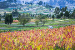 Quinoa cultivated fields Royalty Free Stock Image