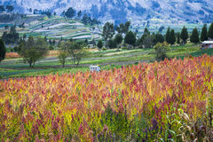 Quinoa cultivated fields Royalty Free Stock Images