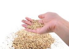 Quinoa de grain débordant ses mains Image stock