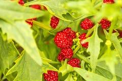Quinoa feuillu, fruits Images stock